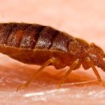 How To Get Rid Of Bed Bugs Diy