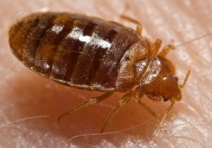 How To Get Rid Of Bed Bugs Effectively