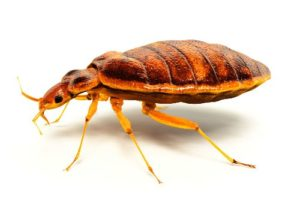How To Get Rid Of Bed Bugs Vacuum