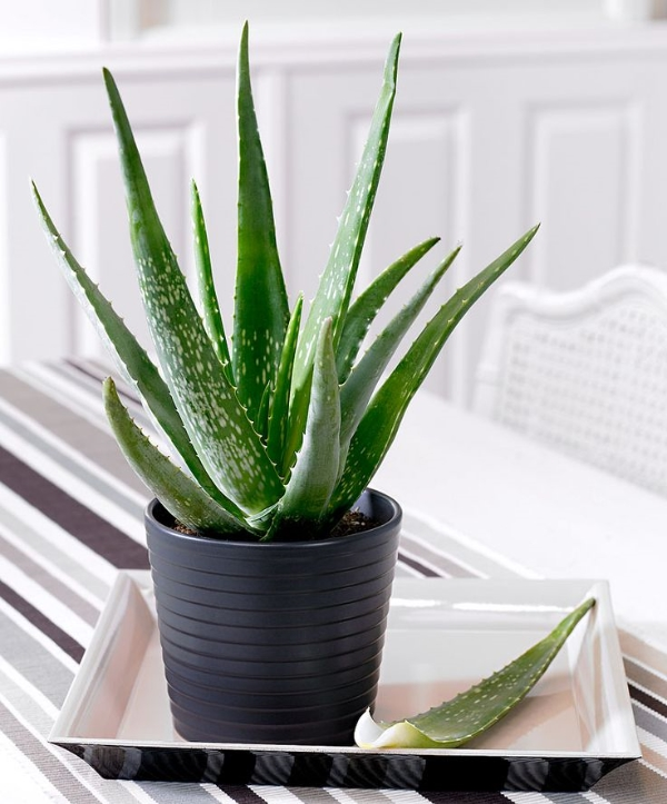 5+ Crazy Aloe Vera Benefits & Ultimate Guide To Growing
