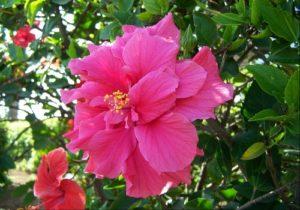 Hibiscus Care