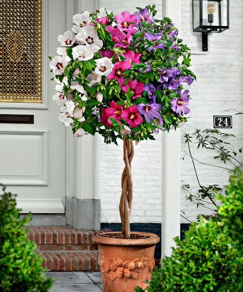 Hibiscus Care Outdoors