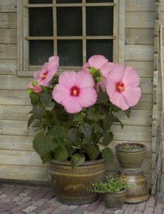 Hibiscus Plant Uses