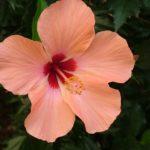 Hibiscus Rosa Sinensis Floral Formula