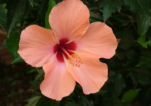 Hibiscus Plant Care And Its Benefits