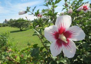 Hibiscus Syriacus Minerva