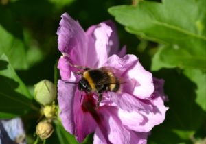 Hibiscus Syriacus Pictures