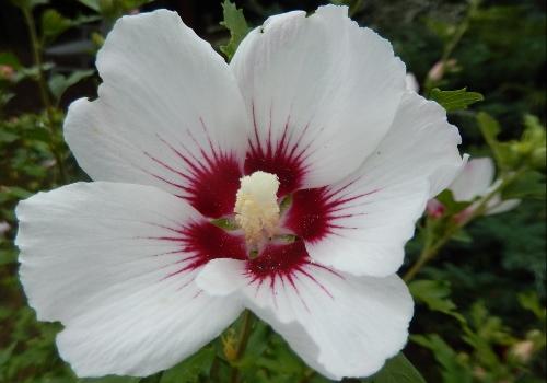 Hibiscus Syriacus Pruning