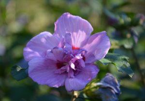 Hibiscus Syriacus Tea