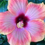 Luna Pink Swirl Hibiscus