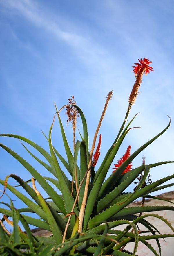 Planting Aloe Vera Outside