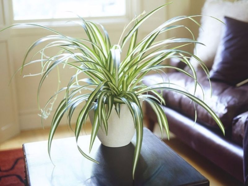Indoor Plants | 11 Best Small & Large Indoor House Plants To ... on indoor house plants that clean air, indoor plant decoration ideas, indoor house plants trees, indoor palm trees, indoor outdoor spider plants,