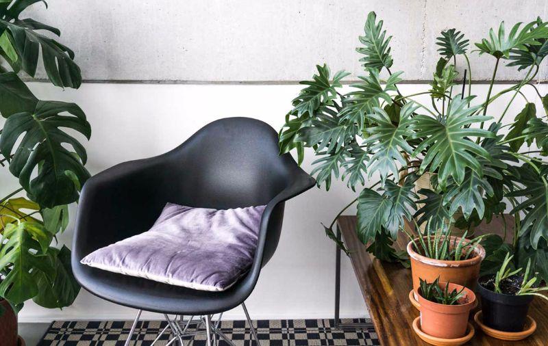 lacy tree best indoor plants