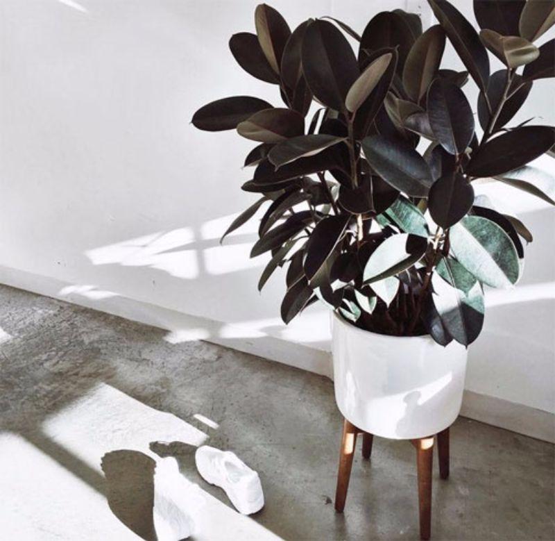 best indoor plants rubber plant