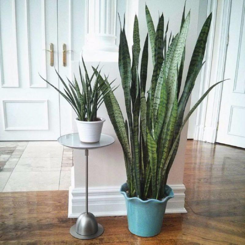 snake plants best indoor plants