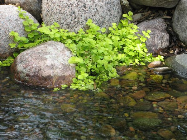 Water Plants For Ponds