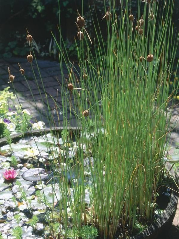 Water Plants For Sale
