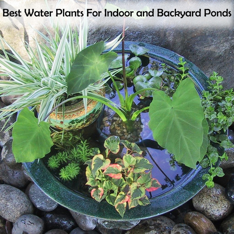 Aquatic Plants For Small Ponds: 16 Best Water Plants For Indoor And Backyard Ponds [2019]