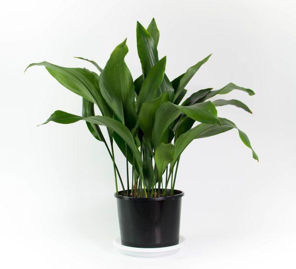 Common House Plants For Sale