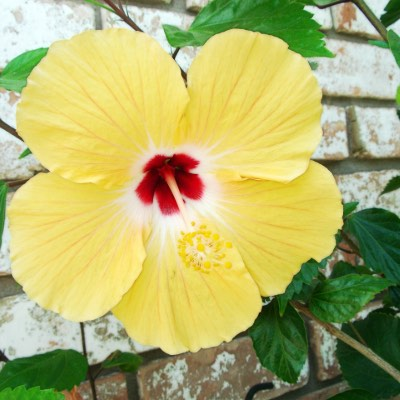 Hibiscus: Plant Care and It's Benefits