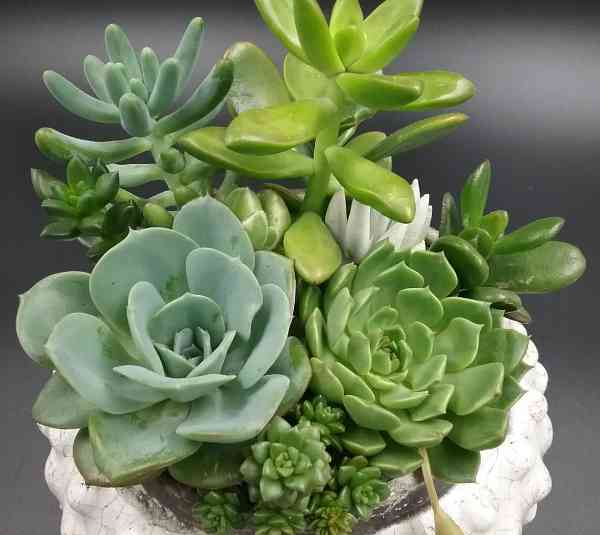 Succulent Plants Benefits