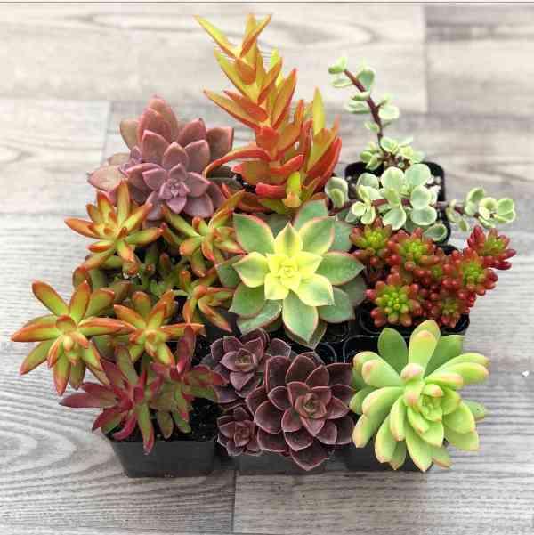 Succulent Plants Bulk