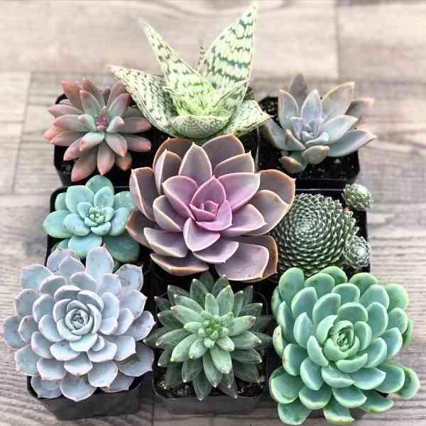 Succulent Plants Identification