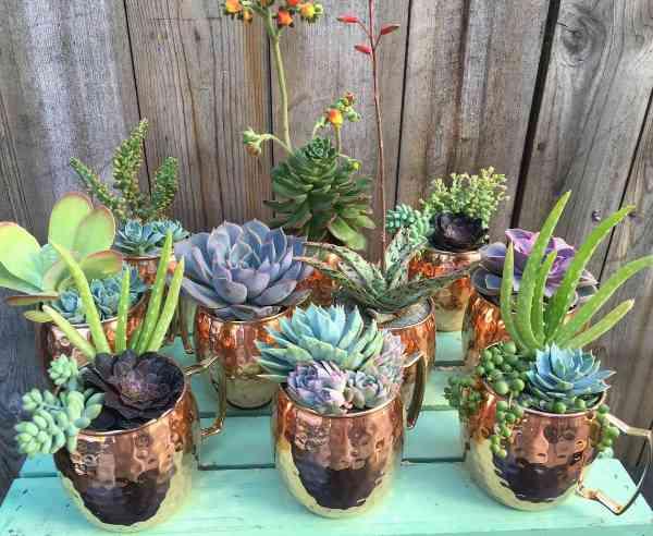 Succulent Plants Jade