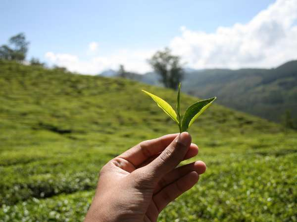Plucking Tea Leaves