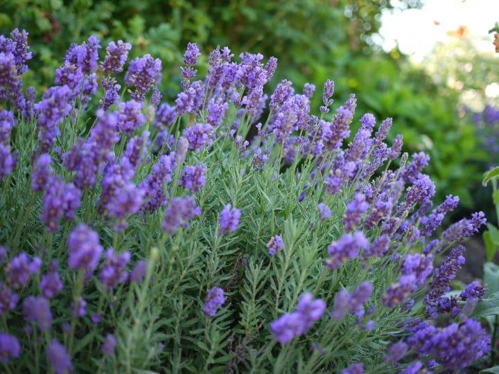 lavandula intermedia lavender plant