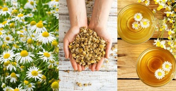 How to Grow Chamomile Herb at Home