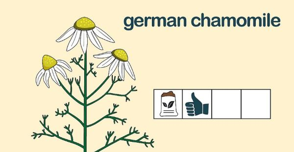 How to Grow Chamomile Outdoors Step 3