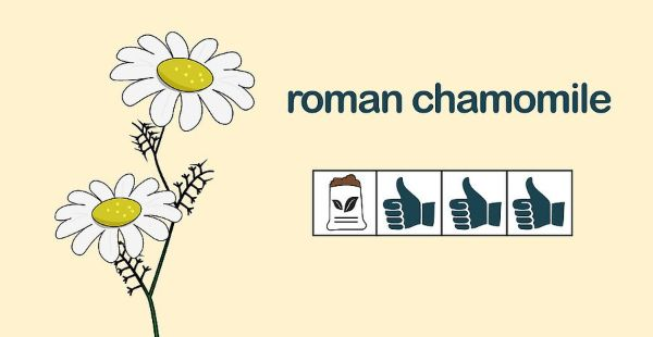 How to Grow Chamomile Outdoors Step 4