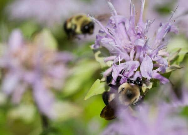 Bee Balms Bees