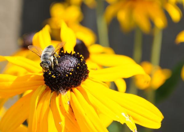 Black Eyed Susan Bees