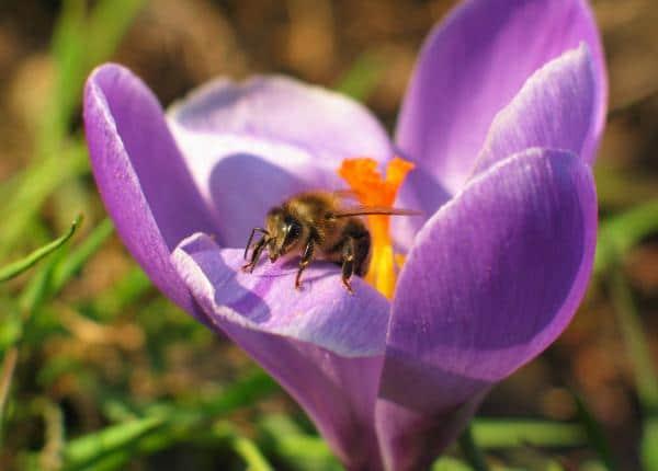 Crocus Bees