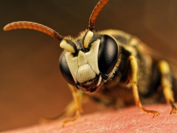 Yellow-faced Bee