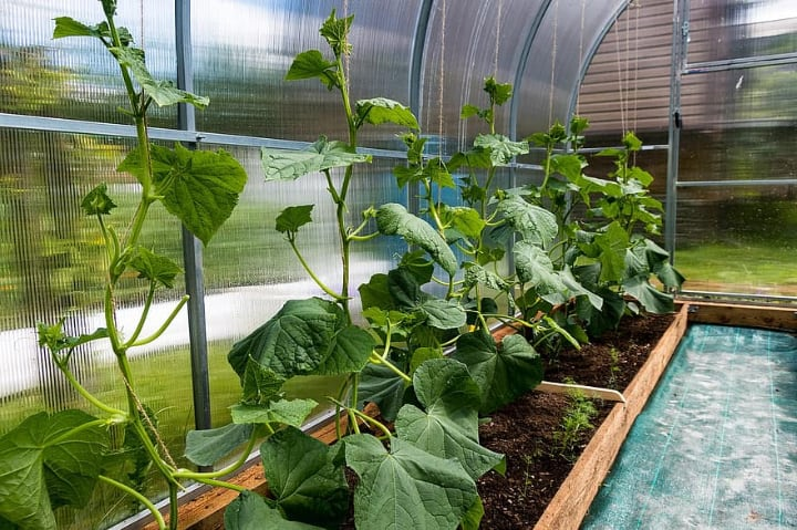 growing cucumber plants in greenhouse