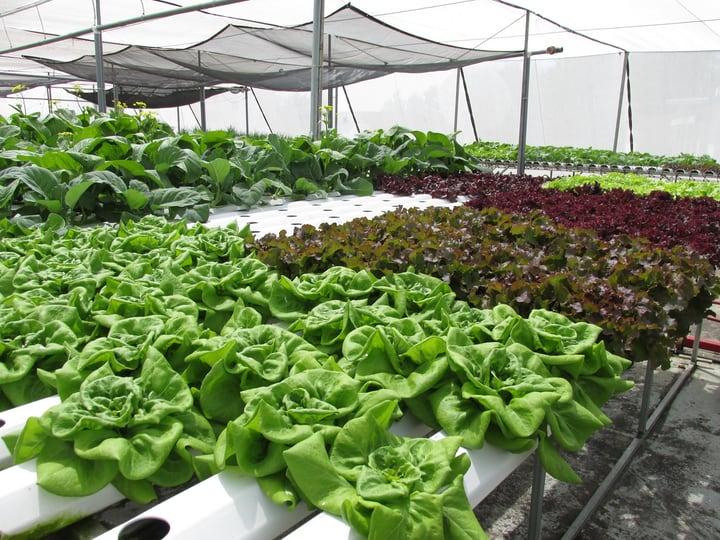 hydroponics inside a greenhouse