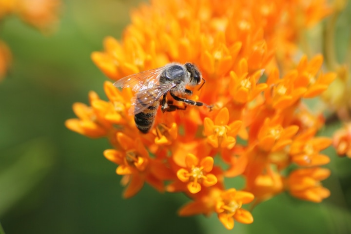 bee on a butterfly weed