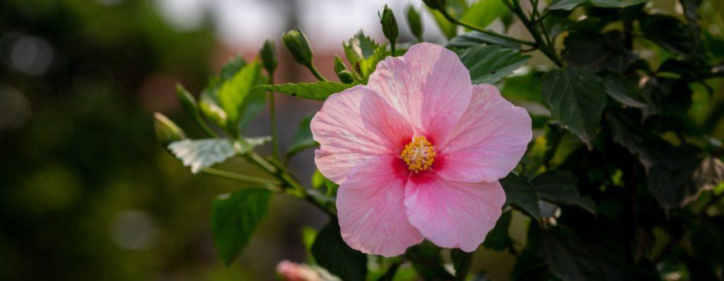 blooming pink hibiscus flower