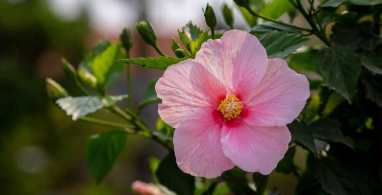 blooming pink hibiscus flower