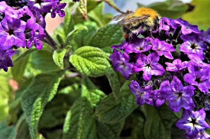 common heliotrope with a bee