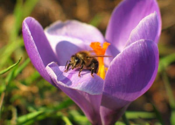 crocus flowers for bees