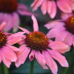 echinacea flower for bees