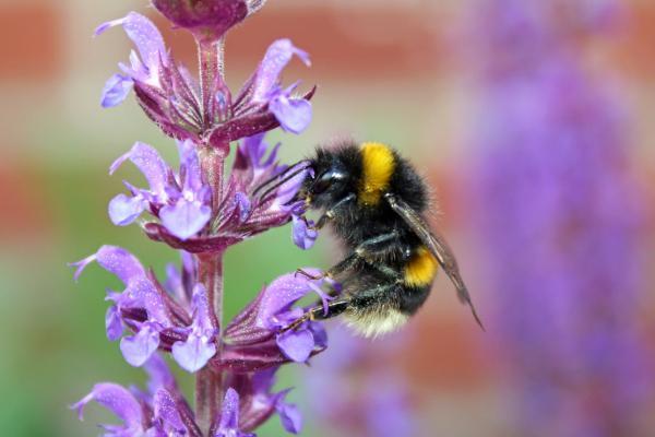 salvia plants that pollinators love
