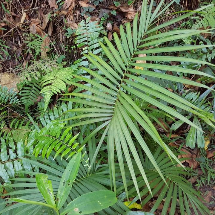 rattan palm