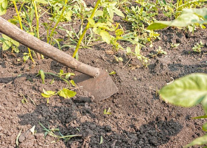 adding top soil to potato plants