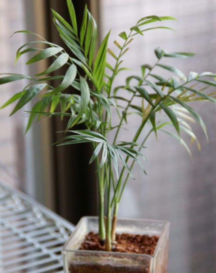 bamboo palm chamaedorea seifrizii