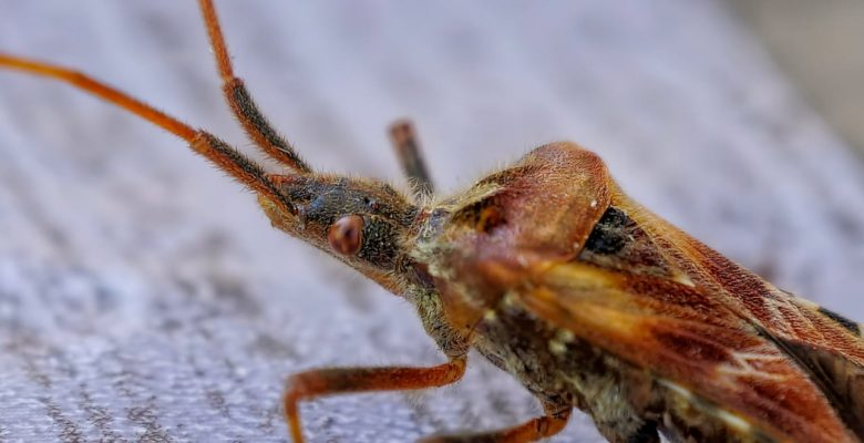 bed bug macro shot